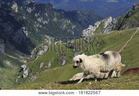 Sheep and mountain landscape with deep valley, Romania, Bucegi mountains