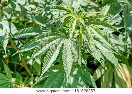 Leaf of Cannabis in Dali, Yunnan, China.