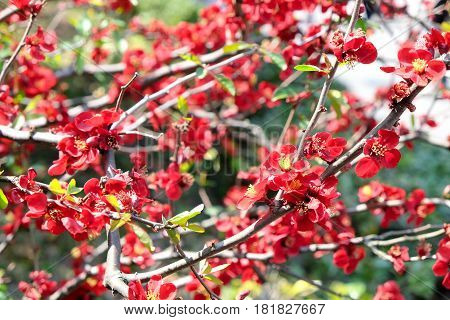 image of Red Japanese Quince - Chaenomeles speciosa