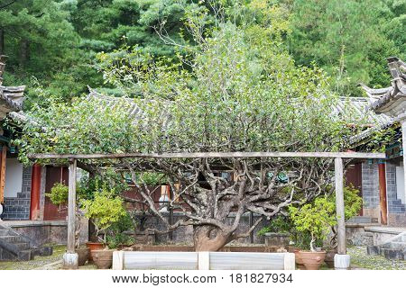 Lijiang, China - Sep 6 2014: Ten-thousand-flower Camelia At Yufeng Lamasery. A Famous Monastery In L