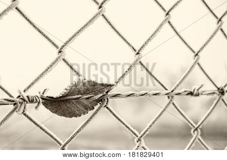 barbed wire with dry tree leaf in black and white