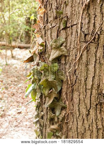 A Bunch Of Dangling Half Dead Dark Green Leaves On The Side Of  Tree With The Texture Of Bark In The
