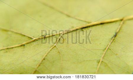 the reverse side of the dried leaf of the tree
