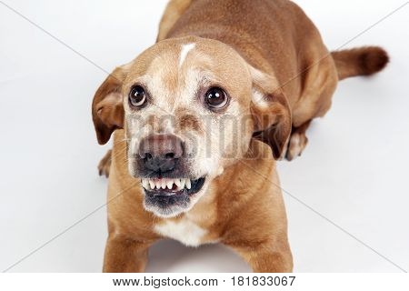 Scared dog lying on the floor with vicious expression. On the bright background. poster