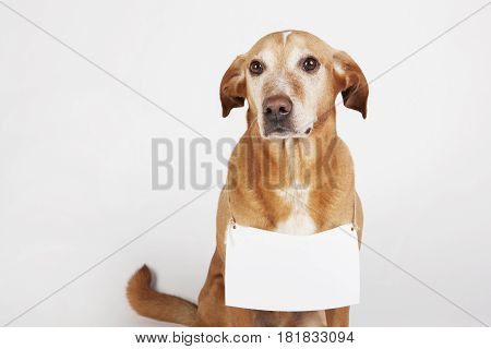 Brown dog with white table for text.  To adopt homeless animal.