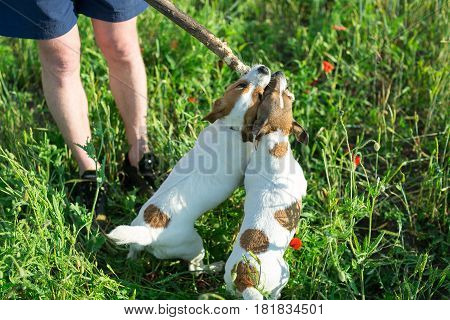 Nature, summer and pets concept - two funny terriers kept in the mouth of a wooden stick with which man on the green summer grass playing with dogs, Jack Russell Terrier, Mylo.
