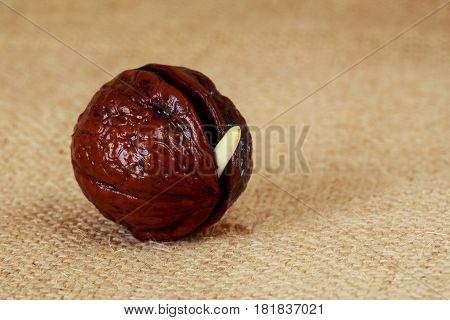 Sprout of a young walnut on sackcloth background