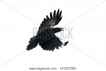 close up feather of black crow flying isolate white background