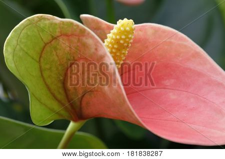 An anthurium plant shows the most colored part to the insects