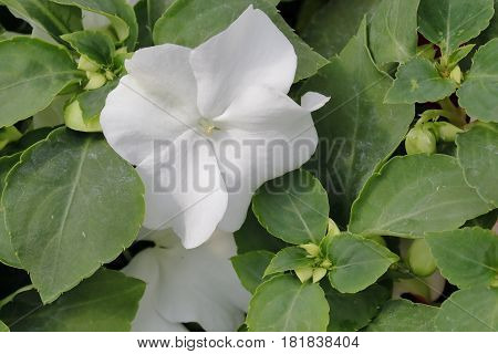 A small and White Carolina flower Impatiens