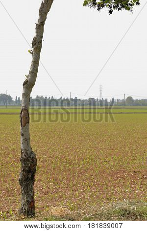 Closeup of a tree in front of a cultivated field