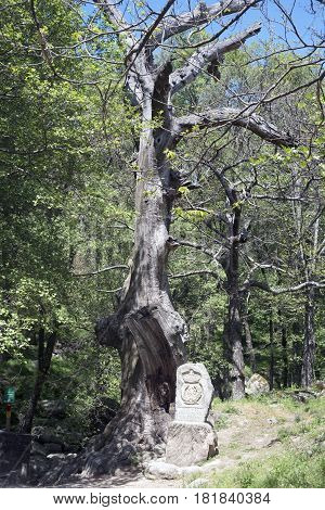 Dry tree in chestnut forest, on the route of the Serradilla. Piedralaves. Avila. Spain