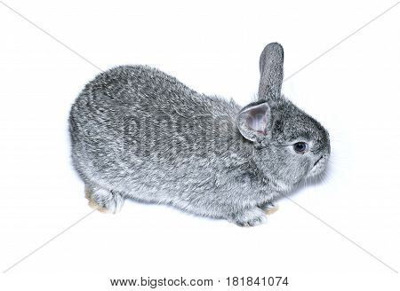 Little gray rabbit breed of gray chinchilla isolated on white background
