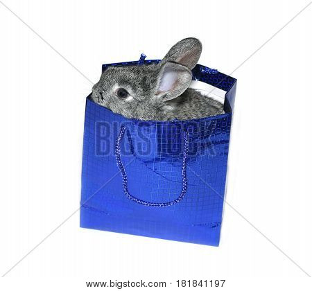 Little gray rabbit breed of gray chinchilla in blue gift pack isolated on white background