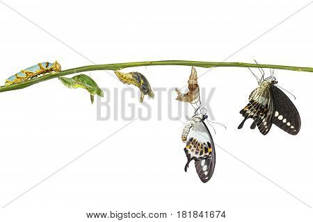 Isolated Transformation Life Cycle Of Banded Swallowtail Butterfly (papilio Demolion)
