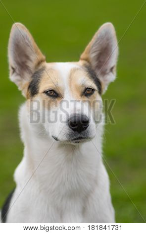 Outdoor portrait of cross-breed of hunting and northern dog against green background. The dog looking graceful.