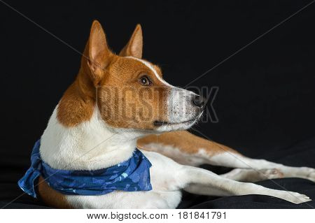 Portrait of stylish basenji dog male lying on a black surface