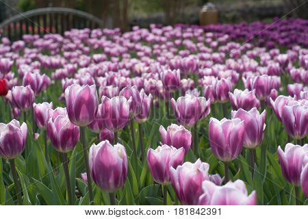 purple, pink, white tulips and double tulips in botanical garden
