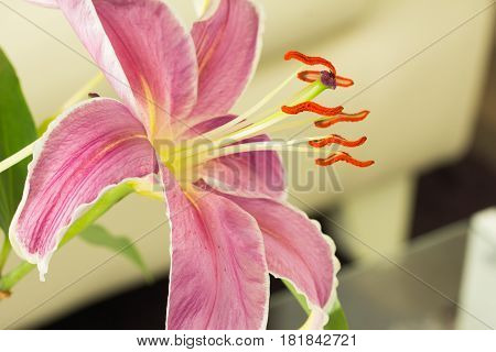 Close up beautiful lily flower decorate in room