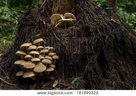 Big Cluster Of Large Mushrooms Grow From The Roots Up A Fallen Tree In A Dense Forest.