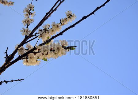 The apricot blossoms. White gentle flowers of an apricot are against the background of the blue sky