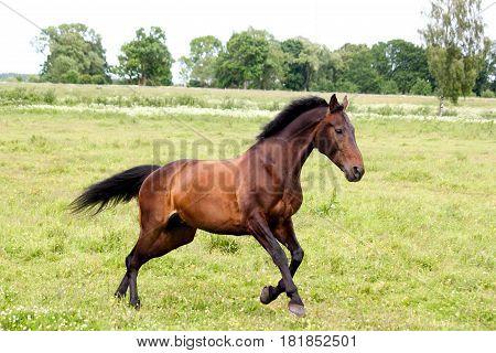 Beautiful Dark Horse Running Free At The Pasture