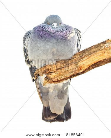 Funny fat dove bird sits on a branch. Domestic pigeon bird isolated on white. Grey dove bird isolated. The rock pigeon is the world's oldest domesticated bird.