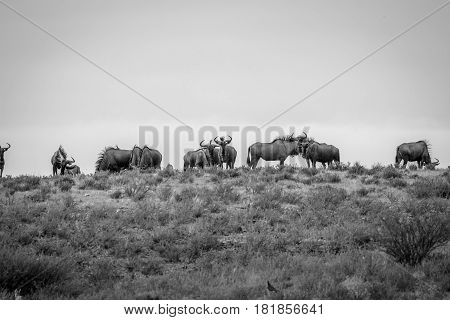 Herd Of Blue Wildebeest In Black And White.