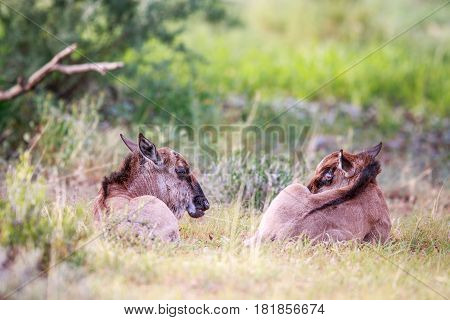 Two Baby Blue Wildebeest In The Grass.
