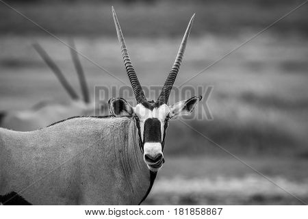 Gemsbok Starring At The Camera In Black And White.