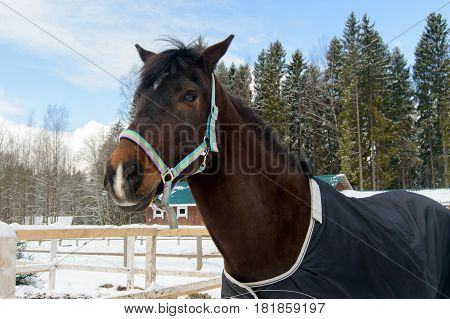 Thoroughbred Bay horse in the winter. Sport horses are graceful and beautiful. Care and care for the animals.
