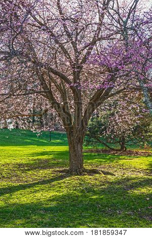 A beautiful cherry blossom tree in Holmdel Park in New Jersey.