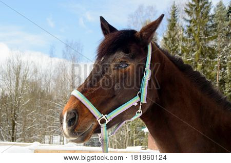 Thoroughbred Bay horse walking in the paddock in winter. Sport horses are graceful and beautiful. Care and care for the animals.