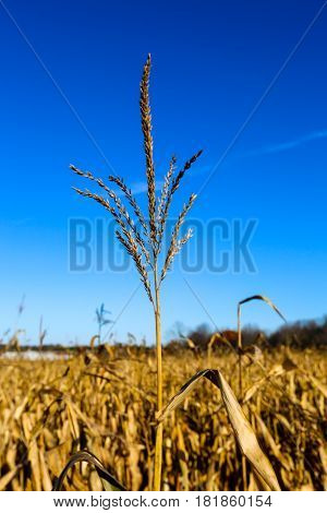 Close up of a tassel in a field of corn ready to be harvested
