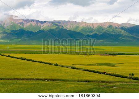 Menyuan, China - Jul 2 2014: Menyuan Rape Flowers. A Famous For The Fantastic Rape Flower Land Vast