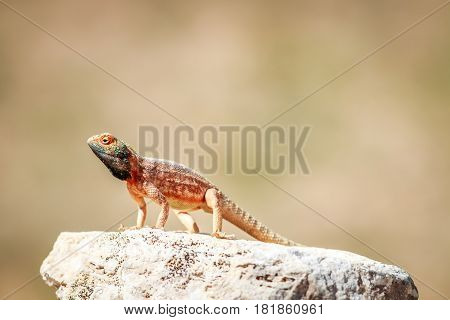 Ground Agama Basking On A Rock.