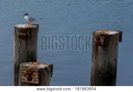 A Common Tern sits watchfully on a post by the water
