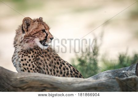 Side Profile Of A Young Cheetah.