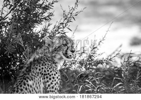 Young Cheetah Starring In Black And White.