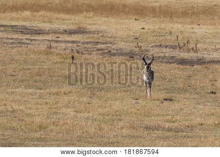 a pronghorn antelope buck and doe in the fall rut