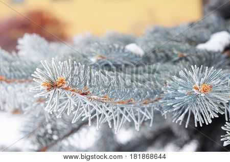 Blue spruce branch. Blue spruce green spruce white spruce Colorado blue spruce with hoarfrost. Christmas tree with hoarfrost.