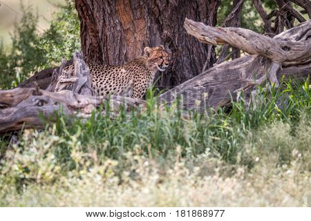 Starring Cheetah From Under A Tree.