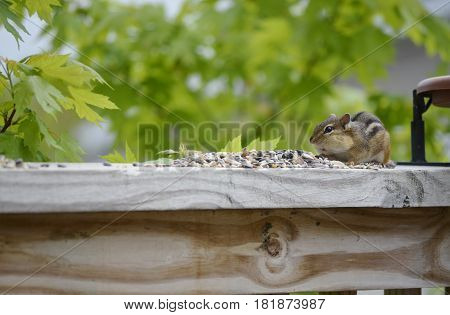 Small Chipmunk like rodent feeding on some nuts and seeds on a deck railing on a sunny summer day