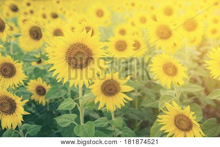 Sunflowers In Sunflower Field, Selective Focus