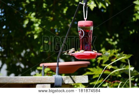 Hummingbird perched a an outdoor nectar feeder on a sunny summer day
