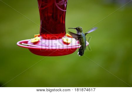 Adult Hummingbird fluttering at the feeder with a blurred nature background