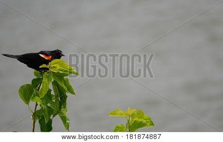 red-winged blackbird (Agelaius phoeniceus) perched outdoor wildlife environment