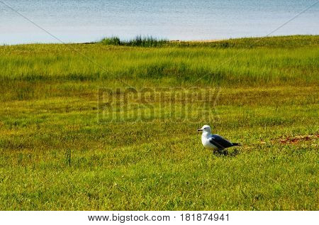 Seagull on the ground in the marsh on a sunny summer day
