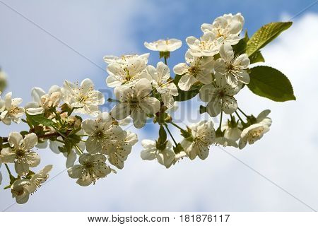 White cherry blossoms on a cherry tree in spring.