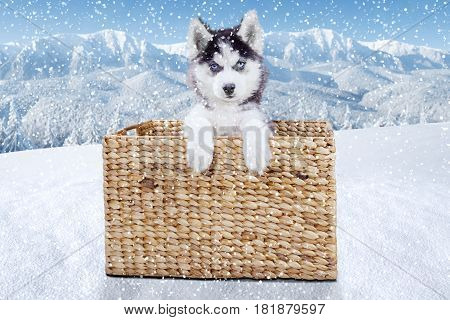 Portrait of a Siberian husky puppy lying in wooden basket while looking at the camera at the mountain shot in wintertime